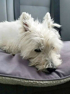 Westie Highland Terrier Rescue - Goldenacresdogs com