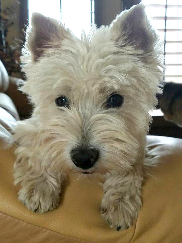Westie Rescue Of California Adoptable Westies