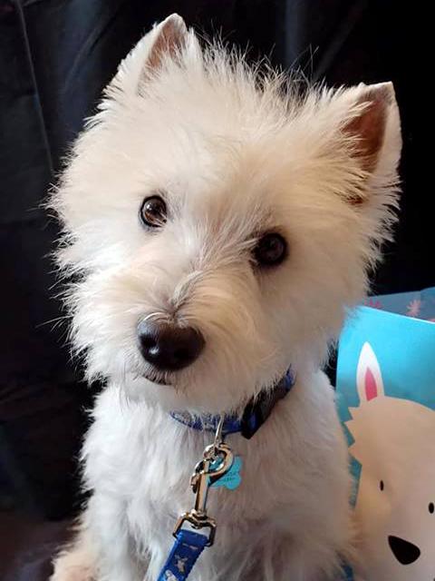 Westie Rescue of California - Adoptable Westies