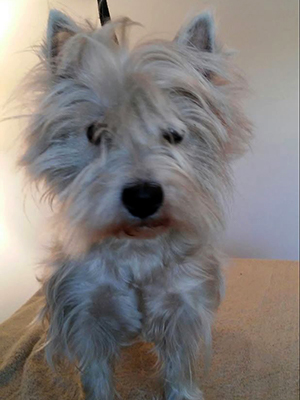 One Owner Car Guy >> Westie Rescue of California - Adoptable Westies