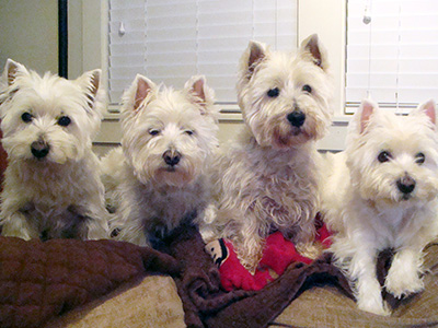 Westie Rescue of California - Our Favorite Westies