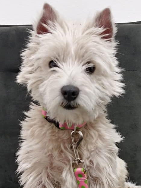 Westie Rescue of California - Adoptable Westies